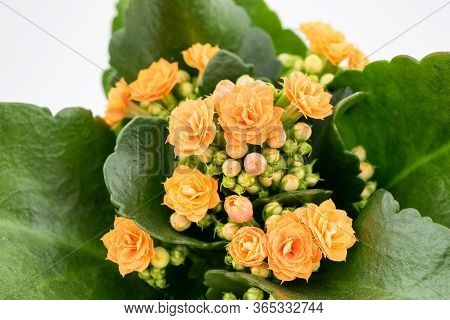 Flaming Katy Plant With Orange Yellow Flowers In A Pot Isolated On White Background - Close Up