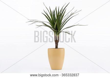 Dracena Marginata Or Dragon Tree Plant - Houseplant In Flowerpot On White Background. Plant In A Pot