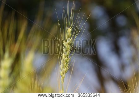 Ear Of Wheat In Agriculture Field India, Wheat Field Nature Background, Close Up Of Wheat Ear, Wheat