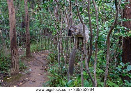 The Brown Maki Lemur Bounces On The Trees