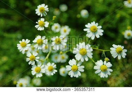 Chamomile Or Camomile  See Spelling Differences Is The Common Name For Several Daisy-like Plants Of