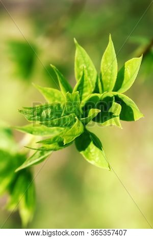 Close Up Of Little Green Leaf Of Tea. Close-up. Tea Leaf. Leaves Green.  Tea Is An Aromatic Beverage