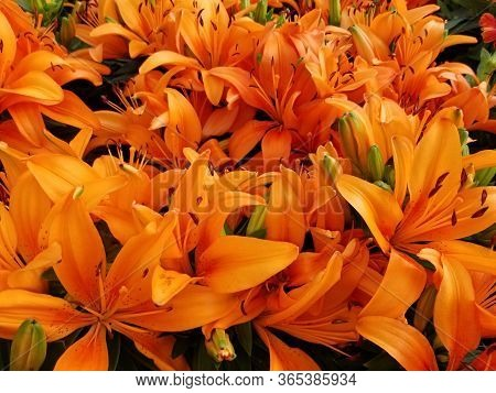 Beautiful Bright Orange Of Asiatic Lily Flowers