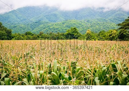Corn Field With Mountain On Background. Corn Agriculture. Cereal  Factory Process. Pre-harvest. Corn