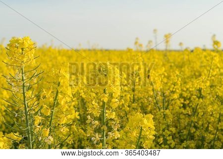 Extensive Arable Fields With Yellow Rapeseed.\nextensive Flat Terrain, Arable Fields Where Rapeseed
