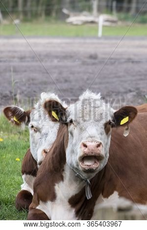 Two Brown And White Cattle Hereford Ruminating On Pastureat, They Are Looking At The Camera