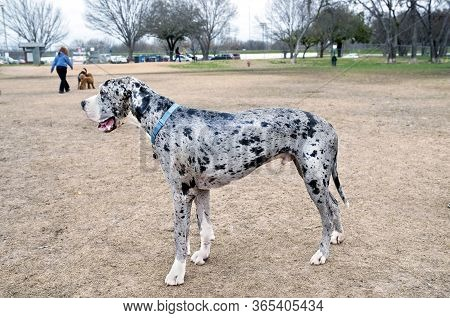 Great Dane Dog Looking Great At The Dog Park.