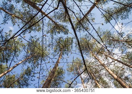Pine Trees In A Forest Seen Upwards Against A Blue Sky With Some White Clouds, Seen Through Branches
