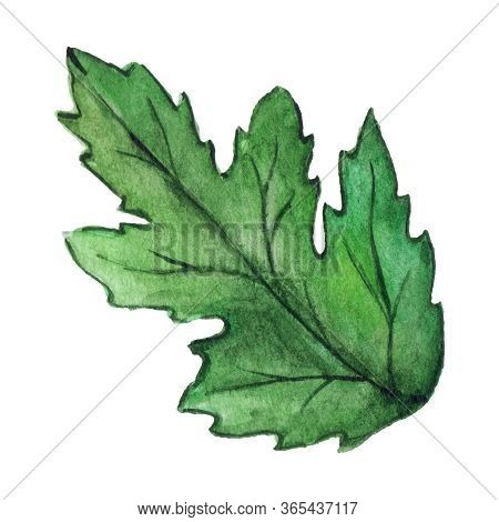 Watercolor Green Chrysanthemum Leaf Isolated Clip Art