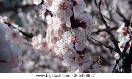Bright Nature Background. Apricot Flowers On A Branch. Hdr Photo