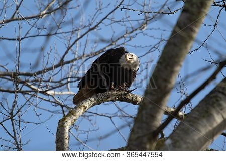 A Solitary Bald Eagle In A Treefeasting On Carrion