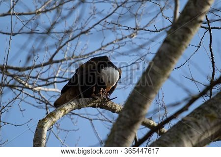 A Hungry Bald Eagle Reasting On Carrion