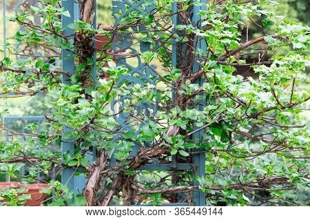 Hydrangea Petiolaris. Young Green Leaves Of Hydrangea Petiolaris In Spring. Climbing Hydrangea