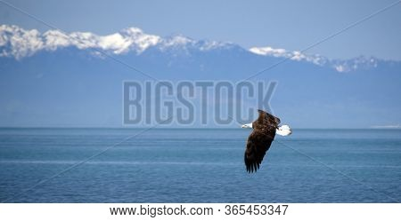 Bald Eagle Flying Over West Beach In Deception Pass Park, With Olympic Mountains In The Background