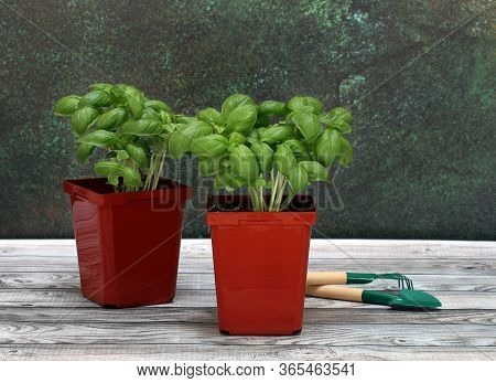 Two Fresh Genovese Basil Plants, Ready To Plant, On A Wooden Table.  Macro
