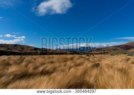 Tussock Grasslands Or Tussock Herbfields Of New Zealand. Native Grassland Landscape With Chionochloa