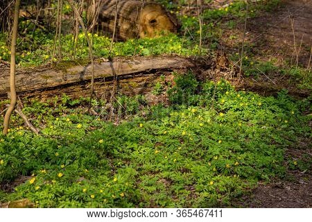 Plant Anemone Ranunculoides (yellow Anemone, Yellow Wood Anemone Or Buttercup Anemone) In The Forest