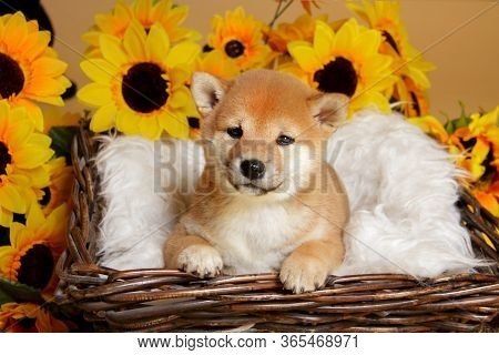 Close-up Of A Red-haired Shiba Iny Puppy Lies On Soft White Blanket In Brown Basket Isolated On A Ye