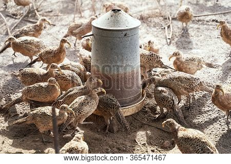 Many Female Common Pheasants On The Bird Breeding Farm Gathered Around A Feeding Trough. All Birds A