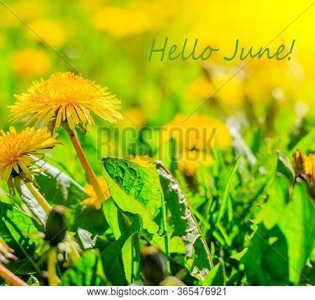 Hello June Flowers. Banner Hello June. New Season. Summer. Dandelions. Yellow Summer Flowers. Dandel