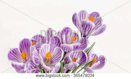 Spring Delicate Flowers Violet Colored, Close Up Petals. Natural Flowery Background With Copy Space.