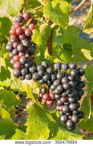 Closeup Of Ripe Pinot Noir Grapes Growing On Vine In Vineyard At Harvest Time