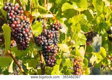 Bunches Of Pinot Noir Grapes Ripening On Vine In Vineyard At Harvest Time