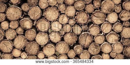 Round Teak Wood Stump. Round Teak Woods Trees Circle Stumps Cutted Group. Deforestation. Tree Stumps