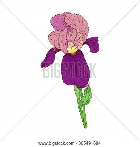 Blooming Iris Flower. Blooming Bud On The Stem. Color Botanical Illustration. Hand Drawn And Isolate
