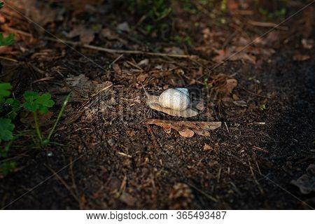 A Garden Snail Creeps On Soft Forest Soil. Helix Pomatia, Common Names The Roman Snail, Burgundy Sna