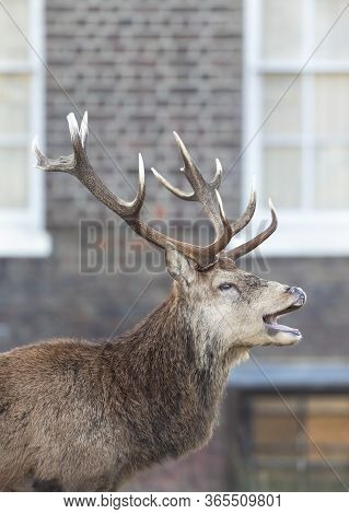 Close-up Of A Red Deer Stag Calling During Rutting Season In Autumn In An Urban Setting, Uk.