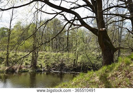 Landscape Of Wild Nature In Early Spring. Early Spring. River In The Forest, The Bank With A Slope.