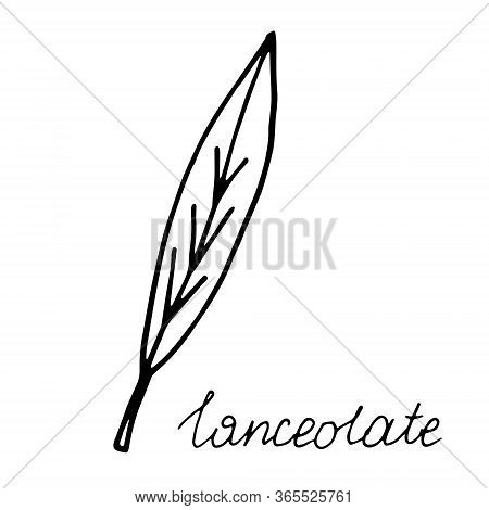 Hand Drawn Doodle Leaf. Black Shape With Different Forms. Lanceolate Leaf