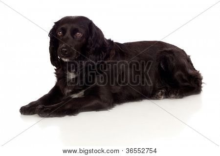 Beautiful black Cocker Spaniel isolated on white background poster