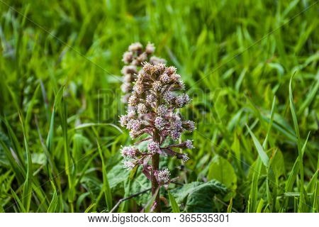 Close-up Of Petasites Hybridus Butterbur In Bloom Among The Green Fields In Recoaro Mille, Vicenza,
