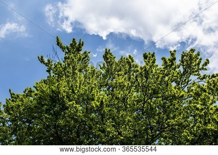 Tree With Lush Fronds Stands Out Against The Blue Sky Of A Spring Day In Recoaro Mille, Vicenza, Ven