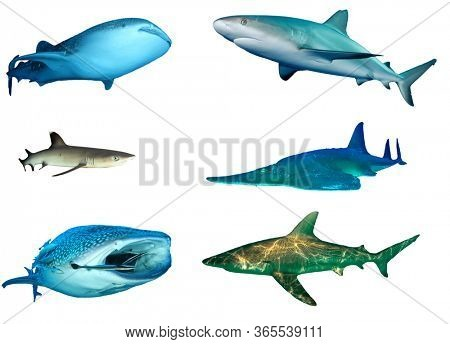 Shark species isolated. Whale Shark, Caribbean Reef, Whitetip Reef, Guitarfish (Shovelnose Ray) and Bronze Whaler Sharks cutout