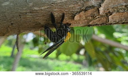 Carpenter Bee boring hole in wood. Bumblebee drilling hole