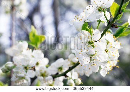Plum Blossoms. Branch Of Blossoming Plum . White Flowers Of Fruit Tree.beautiful Flowers Of Plum .fl