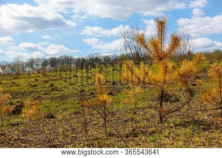 Withered Small Tree. Fir Tree With Yellow Needles. Fire Aftermath