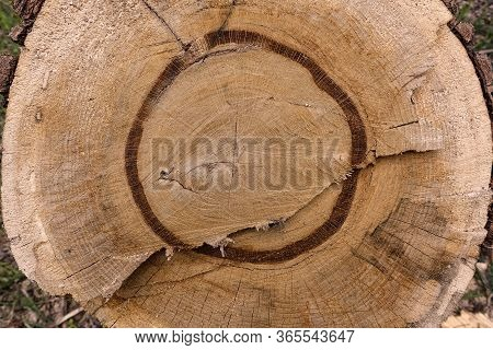 Wooden Circle With A Split Log. Tree Structure.