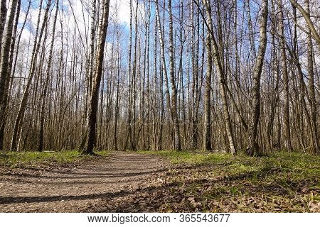 High Birch Trees - Early Spring In The Forest - Sunny Day In The Forest Of White Birches. Russia