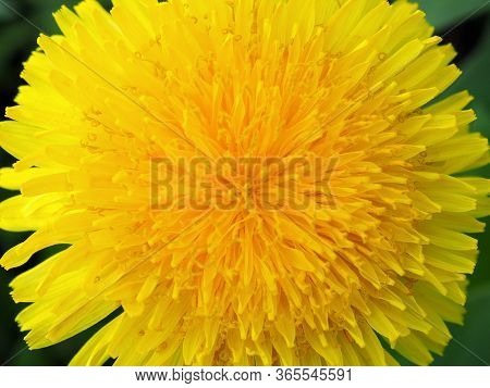 Dandelion Flower Close-up. Colorful Background Or Wallpaper On The Theme Of Summer And Warm Season.