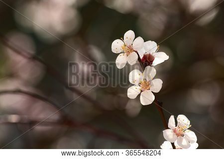 Spring Flowers On The Branches Of An Apricot Tree. Warm Weather. Hi Spring. Background For A Card Wi