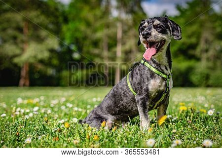 Portrait Of A Happy Havanese Dog With Open Mouth, Sticking Out A Pink Tongue, Sitting On Green Grass