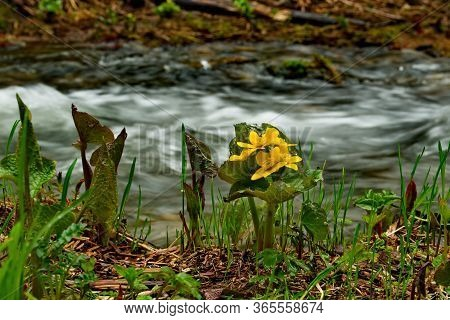 Russia, Kuznetsky Alatau. Cowslip Marsh On The Swampy Banks Of The Tom River.