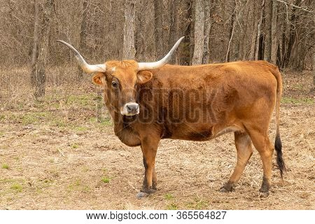 Texas Longhorn Beef Cattle Cow, Bos Taurus, With Typical Long Horns. Brown Bovine Standing Broadside