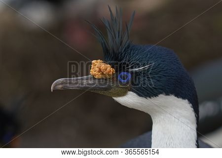 Portrait Of An Imperial Shag (phalacrocorax Atriceps Albiventer) In Breeding Plumage On The Cliffs O