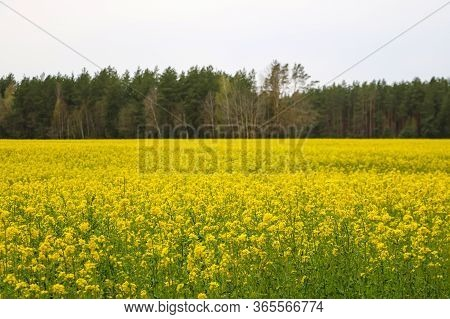 Spring Landscape. Picture Of Oilseed Rapeseed On Field. Selective Focus