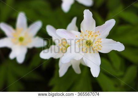 First Windflowers Growing In The Forest, Selective Focus